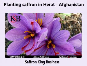 Planting saffron in Herat - Afghanistan