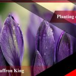 What is the purchase price of high quality saffron?
